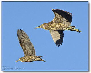 Juvenile Night Herons