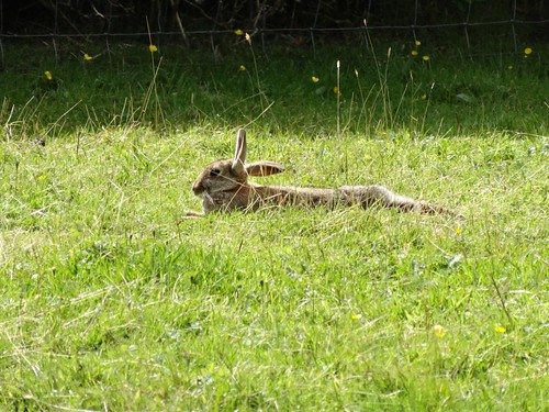 Wild Rabbit at Hilltop