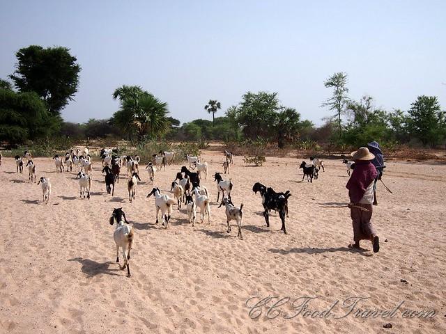 Bagan Goat Herders