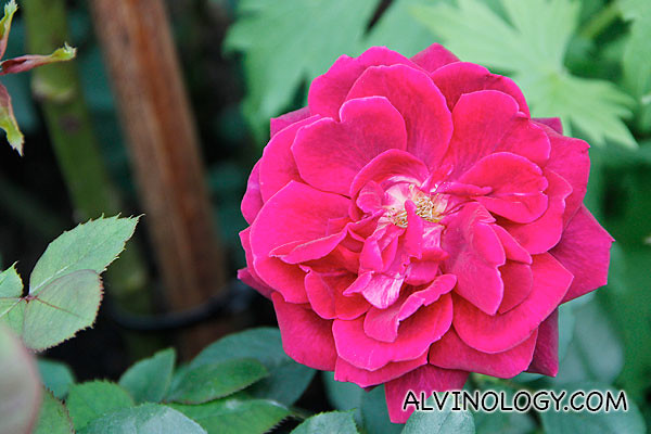 A large wild rose