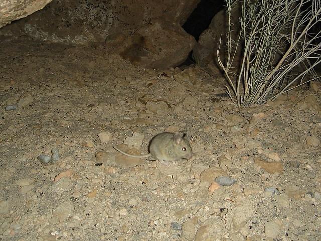 desert woodrat