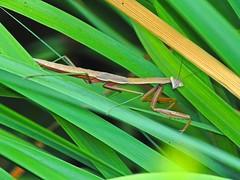 Praying Mantis in Our Garden