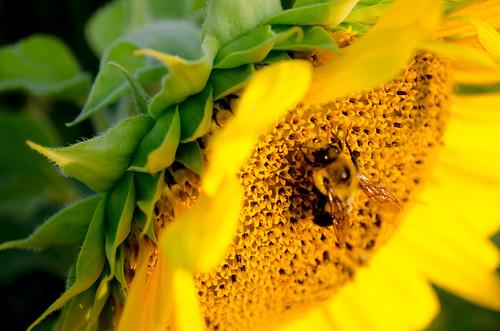 food sun green field yellow breakfast sunrise insect farm harvest bee growth sunflower pollen