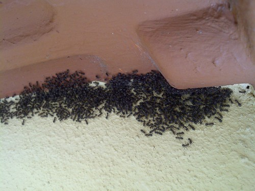 Black Ant Colony