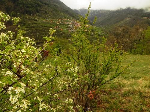 Prunus mahaleb=Merisier odorant ou Bois de Sainte-Lucie
