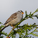 White-Crowned Sparrow III