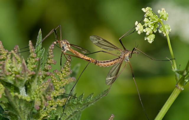 craneflies
