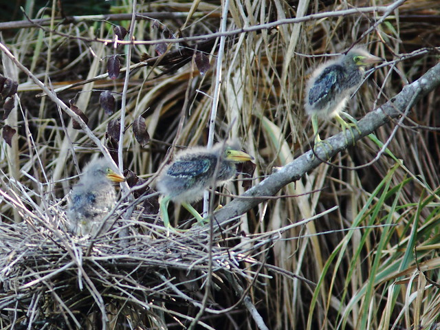 Green Heron chicks approach female parent2 Nest 4HT 20120422