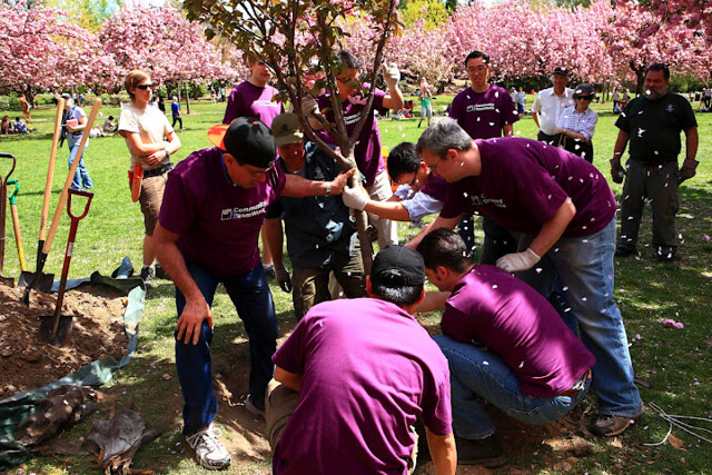 Volunteers lower the new cherry tree into the ground. Photo by Lenny Karunungan.