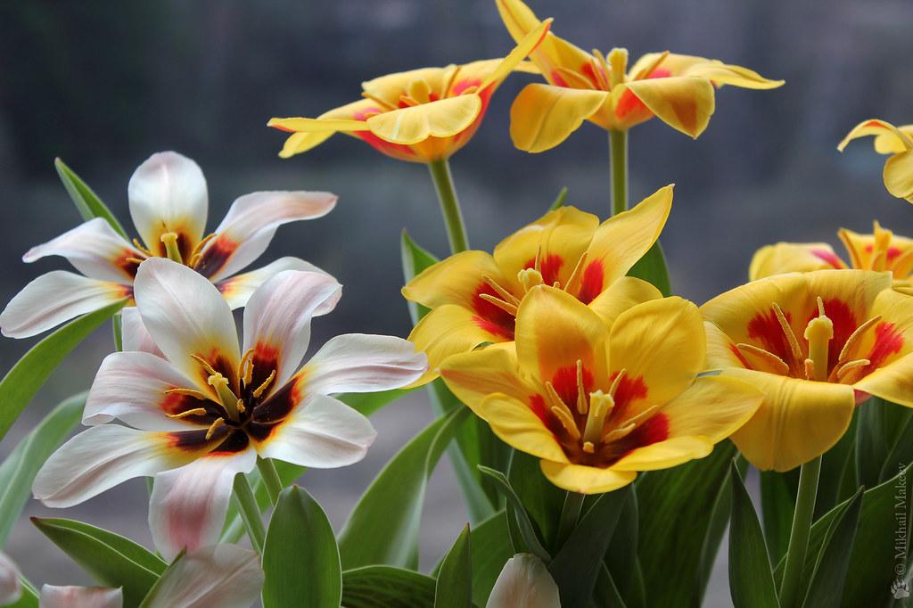 Tulipa fosteriana 'Zombie' & Tulipa kaufmanniana 'Stresa' — Тюльпан Фостера 'Зомби' & Тюльпан Кауфмана 'Стреза'
