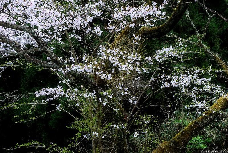 新緑と桜  長谷寺 - 奈良