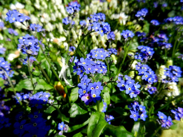 Forget-me-not_2