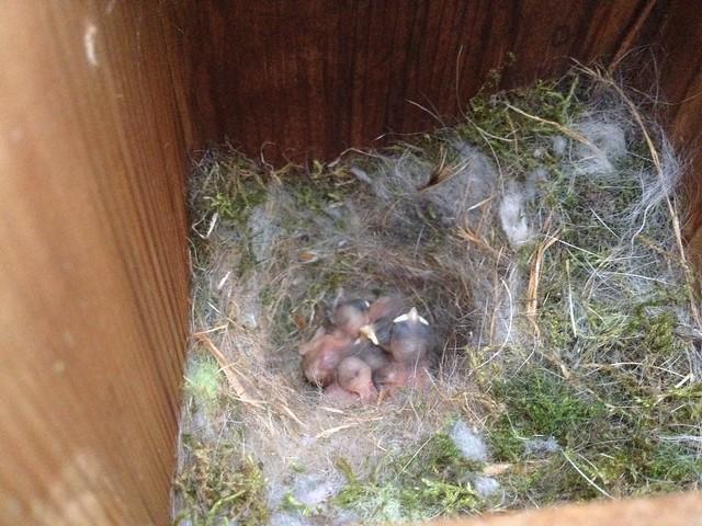 Chickadees Day 4