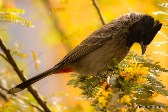 Red Vented Bulbul by Pranav Bhasin