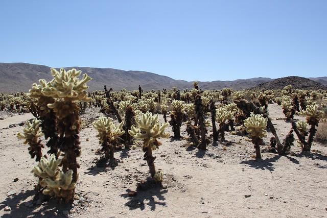 Joshua Tree National Park Cholla Cactus Garden Explore Js Flickr Photo Sharing