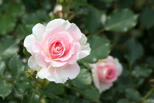 2012 Spring rose; Greenall's Glory