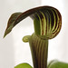 Jack in the Pulpit 2
