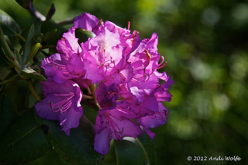 Rhododendron by andiwolfe
