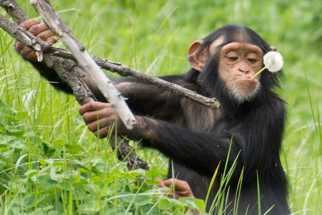 Chimpanzee with a Snack