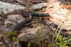 146/366 Rat Snake