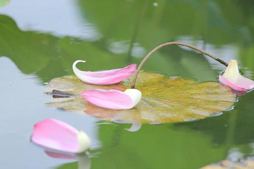 Lotus 荷