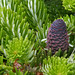 Abies koreana Green Carpet-foliage-cone