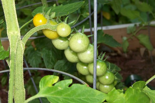 Tomatoes turning