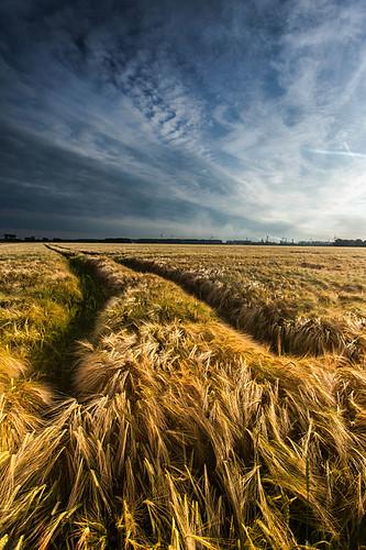 Golden Field by Harold vd Berge