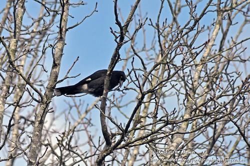 Currawong in Liquidamber tree