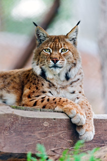 Lying and posing lynx | by Tambako the Jaguar