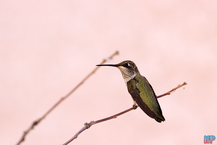 immature male Black Chinned Hummingbird 070112