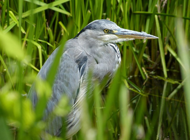 27522 - Grey Heron, WWT London