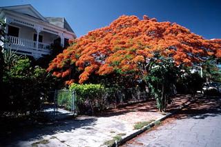 Poincianas in bloom on Southard Street: Key West, Florida