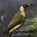 GREEN WOODPECKER ZN6X1050