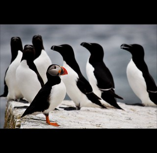 The Puffin & Razorbill Show