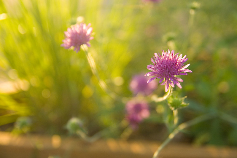 Knautia Melton Pastels Sunrise
