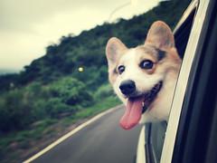 [フリー画像素材] 動物 1, 犬・イヌ, ウェルシュ・コーギー・ペンブローク ID:201207131000