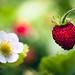 Smultron / Wild Strawberry / Fraises des Bois