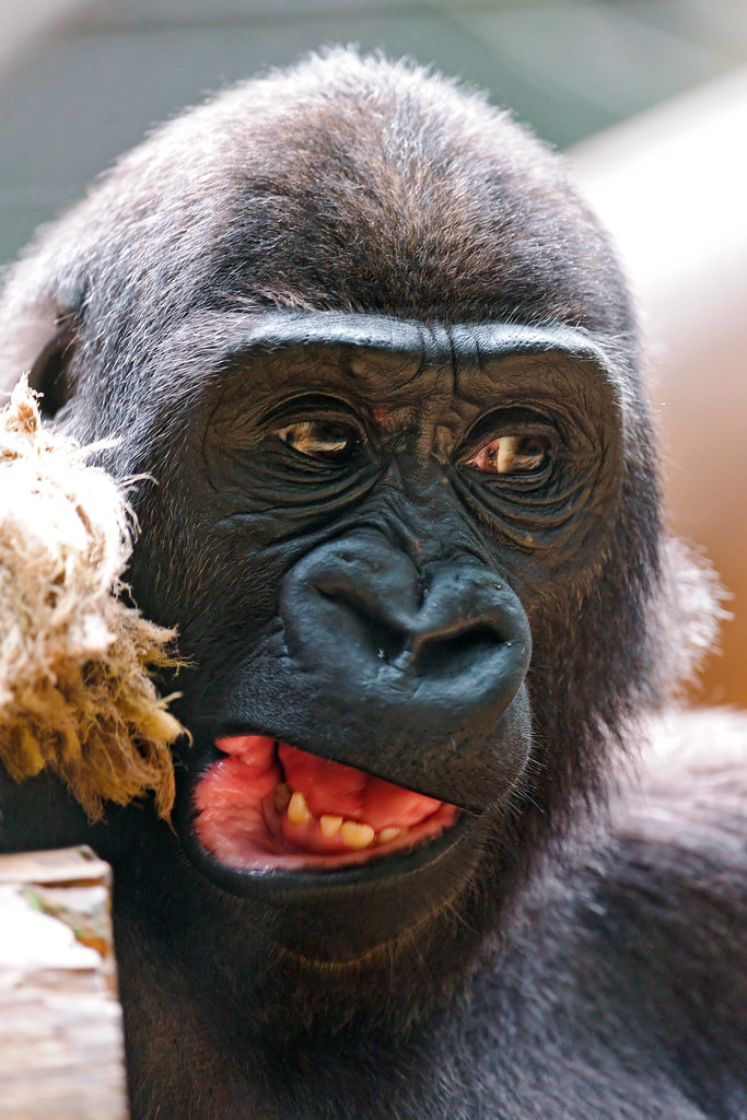 Funny gorilla, Young gorilla with funny mouth