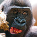 Young gorilla with funny mouth