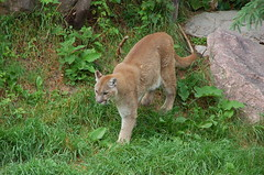 cougar, animal, big cats, mammal, fauna, puma, wild cat, wildlife,