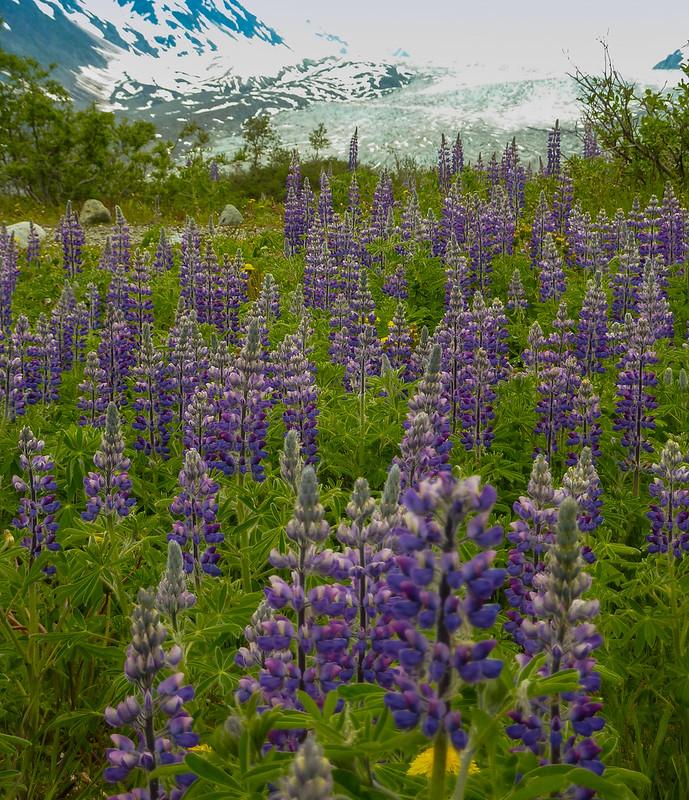 Lupinus cerca del glaciar Reid. Parque nacional de la Bahía de los Glaciares. Alaska.