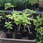 Broussonetia papyrifera rooted cuttings