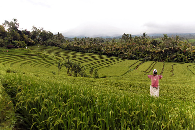 Rice Paddies with Scarecrow