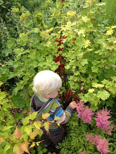 Aksel sõstrapõõsas / A man and his redcurrants