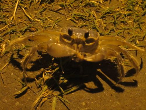 A sand crab