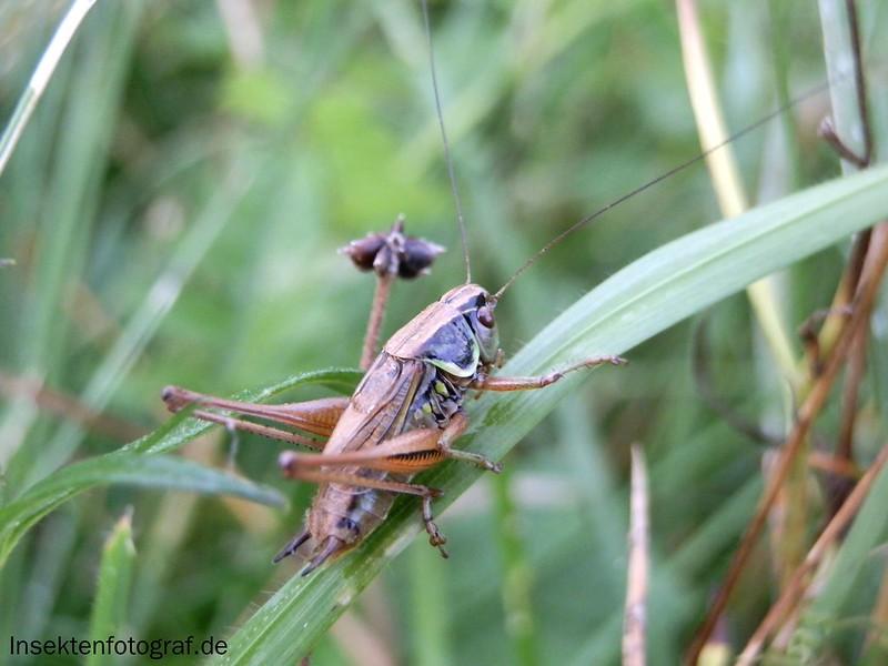 Roesels Beißschrecke (Metrioptera roeselii)