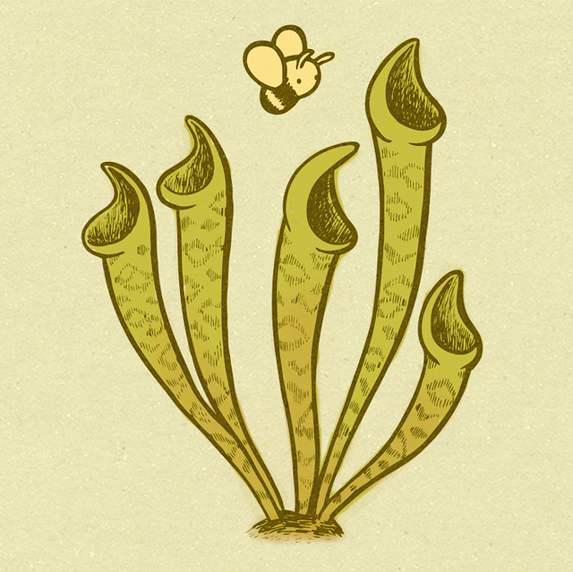 Pitcher plant drawing - photo#8
