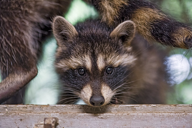 Portrait of a quite young raccoon