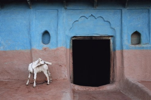 Jeffrey Becom, White Goat, Bangra, Uttar Pradesh, India, 2008